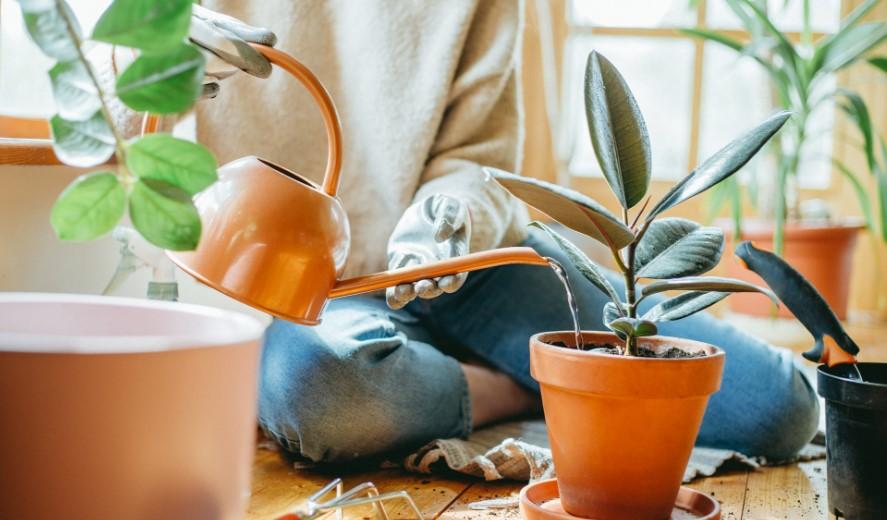 watering houseplant