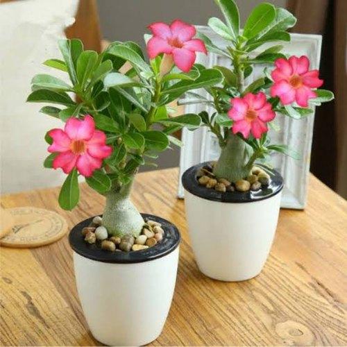 Adenium Desert Rose indoor houseplant survive hard in winter