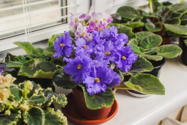 African Violets indoor houseplant survive hard in winter