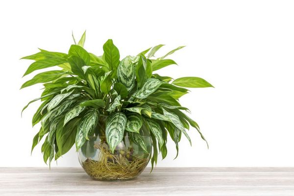 Aglaonema bathroom plants