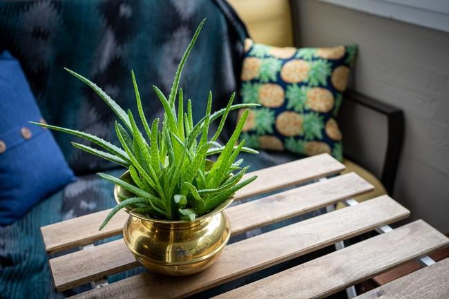 Aloe Vera plant care and guide