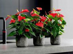 Anthurium Flower indoor houseplant survive hard in winter