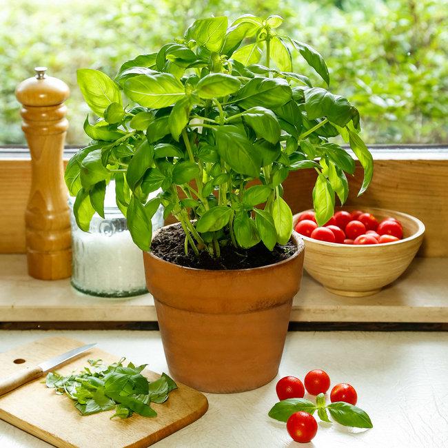 Basil in pot indoor