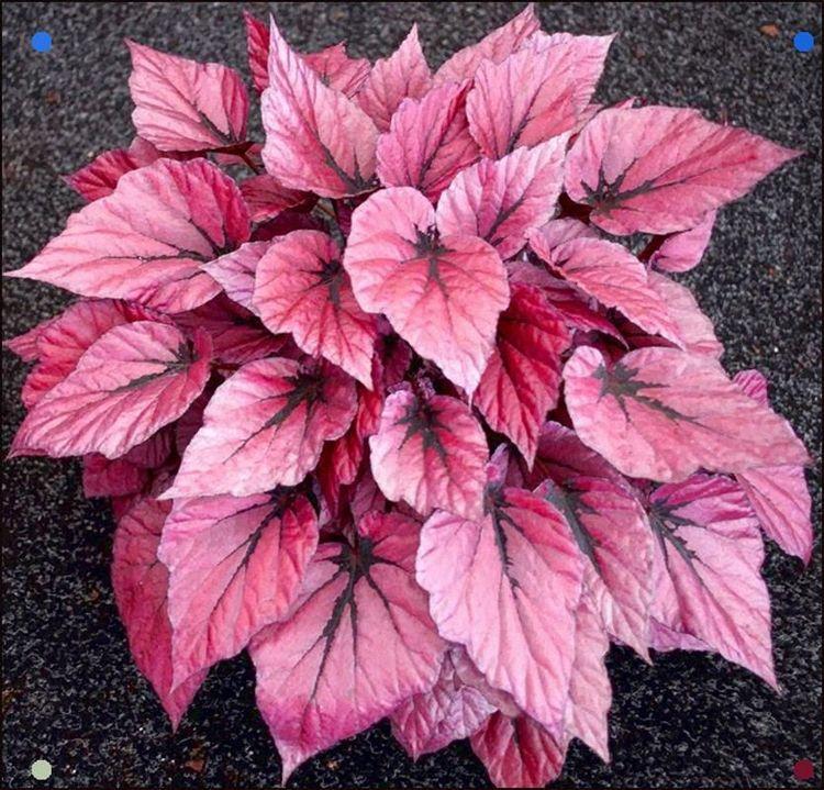 pink houseplant Begonia 'Shadow King Pink'