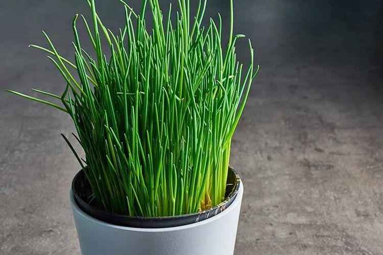 CHIVES herbs winter indoor in pot