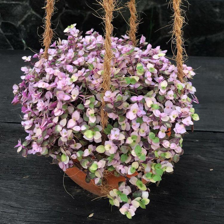 Callisia Repens Variegata pink houseplant