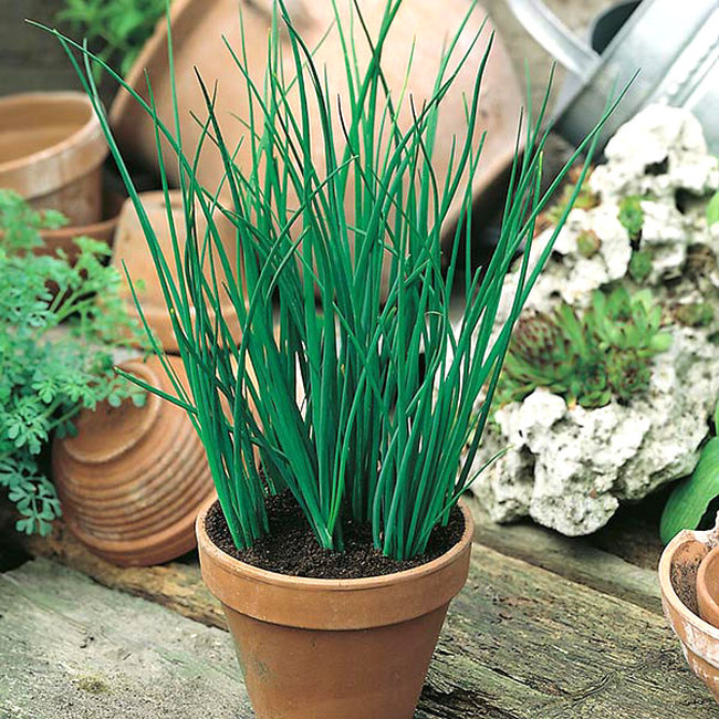 Easy Tips Growing Chives indoor in container