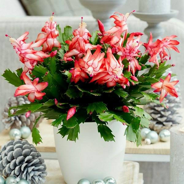 Christmas Cactus indoor houseplant survive hard in winter