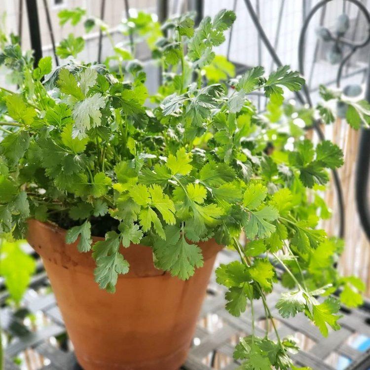 Cilantro winter herbs in pot indoor