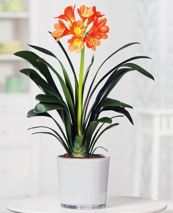 Clivia indoor houseplant survive hard in winter