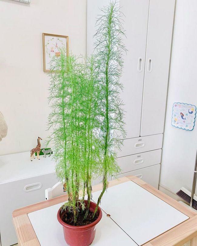 Dill in pot indoor herb