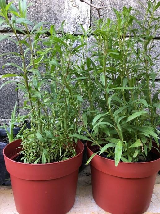Easy Tips For Growing Tarragon Indoors in pot