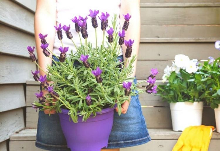 Easy Tips Growing Lavender Indoors in container