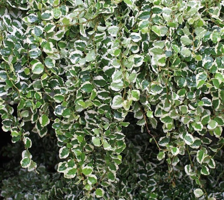 Ficus pumila Variegata indoor wall garden