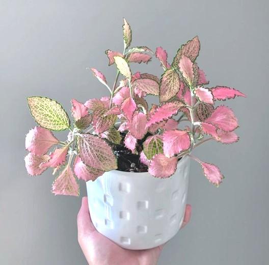 Fittonia Frankie pink houseplant