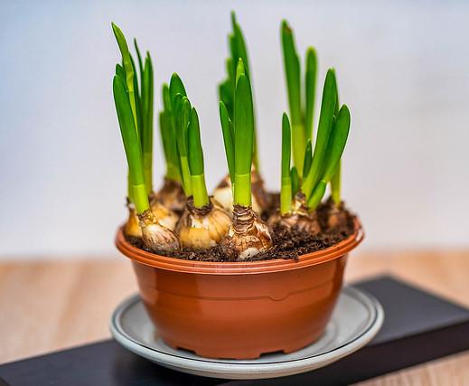 Green Onions in pot indoor