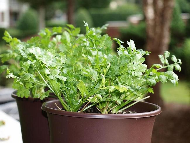 Growing Chervil in Container indoors
