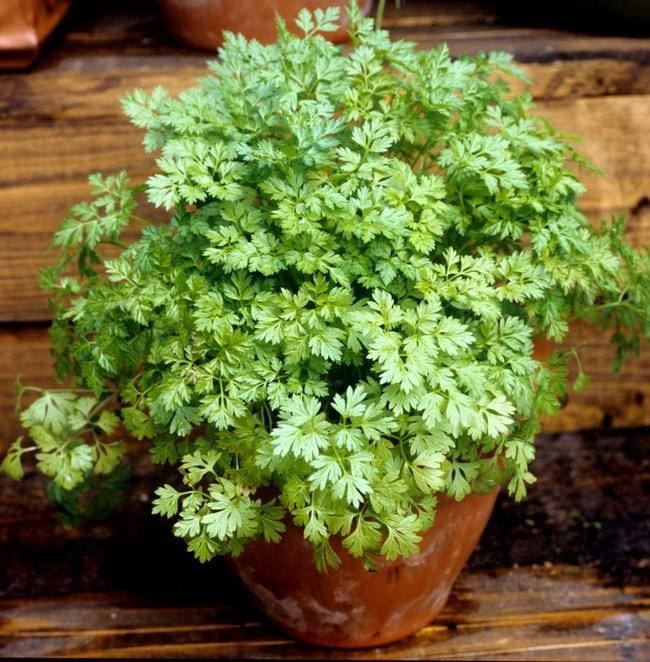 Growing Chervil in Container