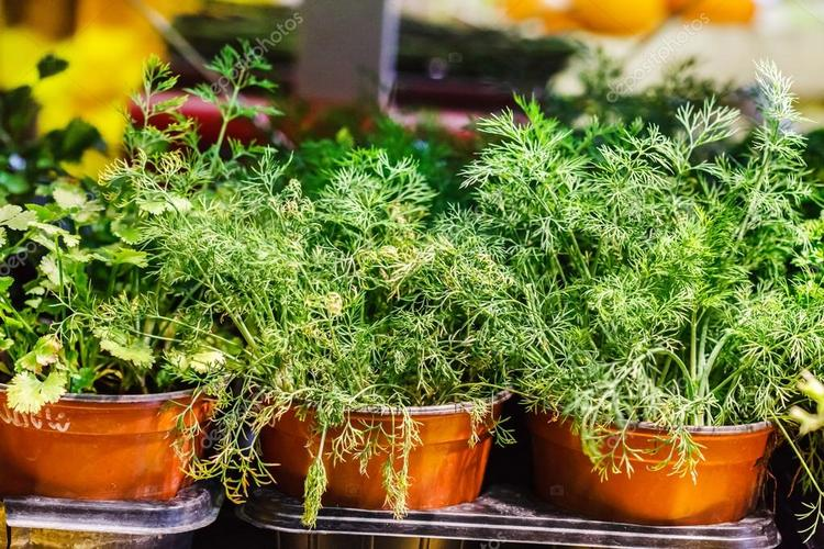 Growing Dill in a Pot