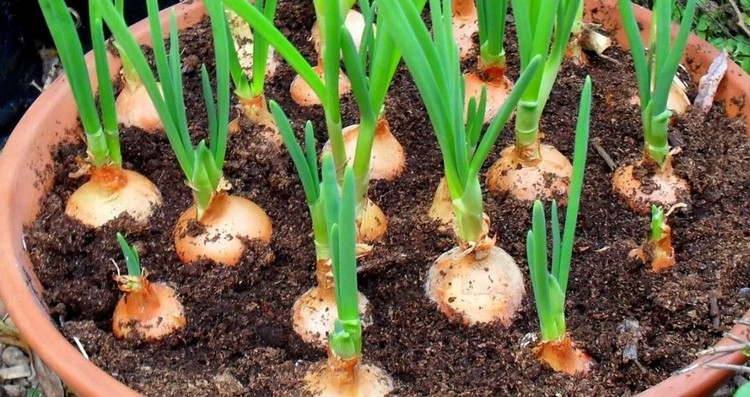 Growing Green Onions in Pot container