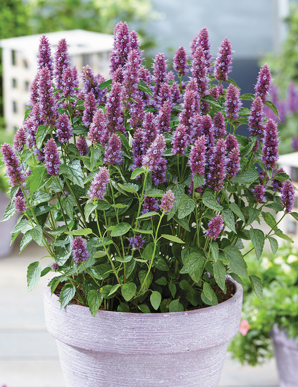 Growing Hyssop Herb In Containers