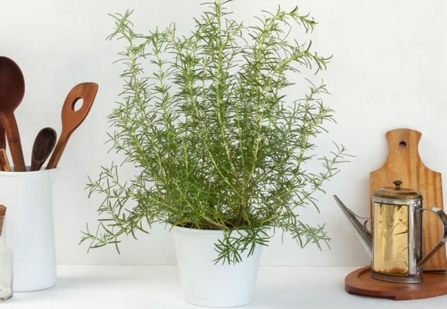 Growing Rosemary Indoors