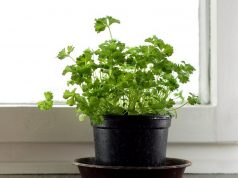 Growing parsley in container