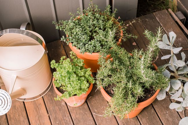 How to grow Dill in a Pot containers