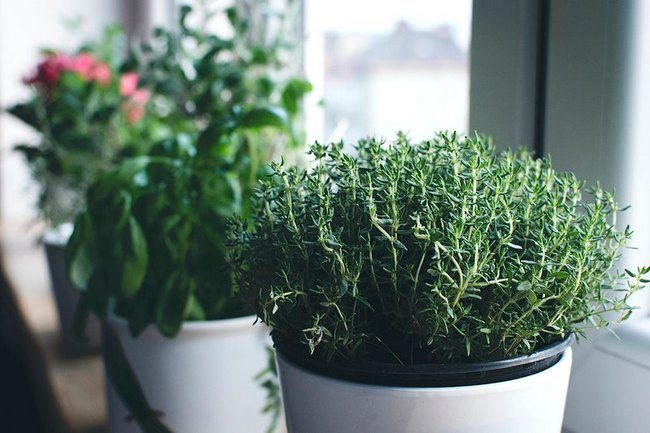 How to grow Thyme Indoors in pot