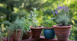 Hyssop Herb In Containers pot