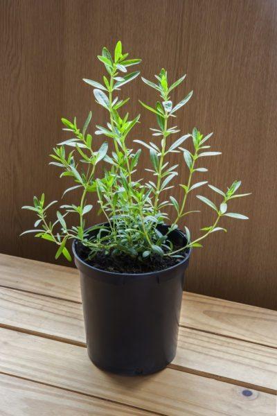Hyssop herbs winter indoor in pot