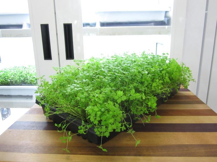 Indoor Chervil herbs winter in pot