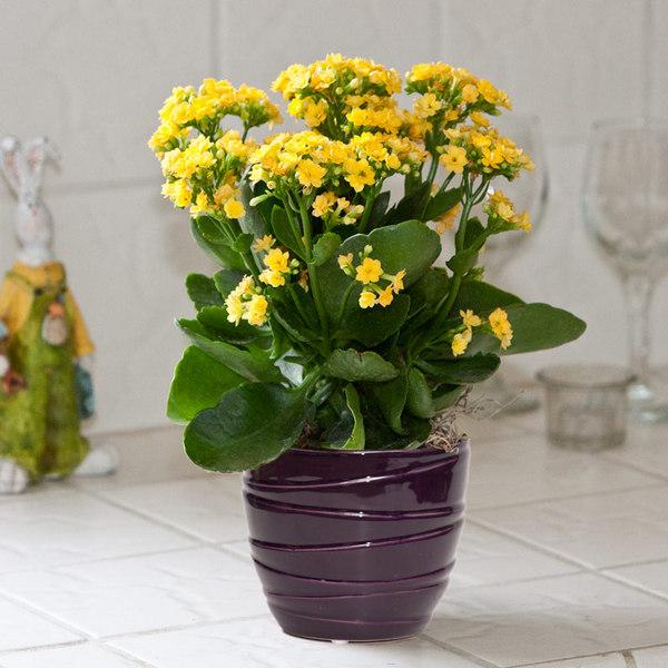 Kalanchoe indoor houseplant survive hard in winter