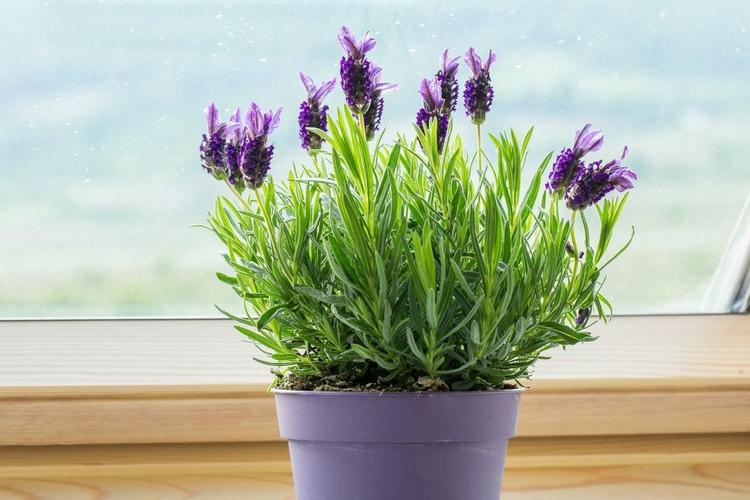 Lavender indoor herbs winter in pot