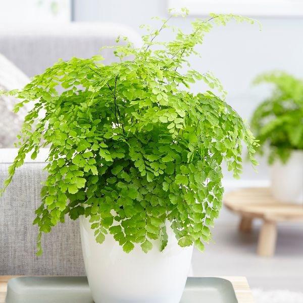 Maidenhair Fern indoor houseplant survive hard in winter