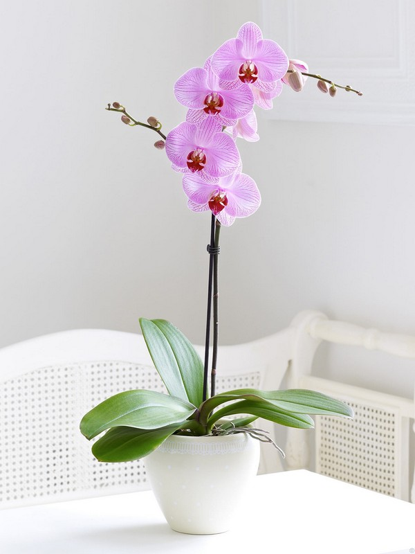 Moth Orchid indoor houseplant survive hard in winter