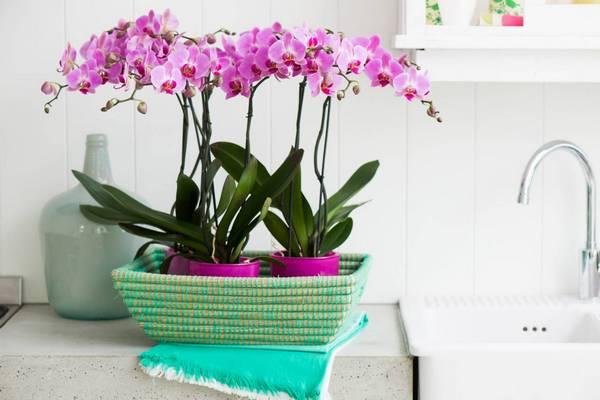 Orchids bathroom plants