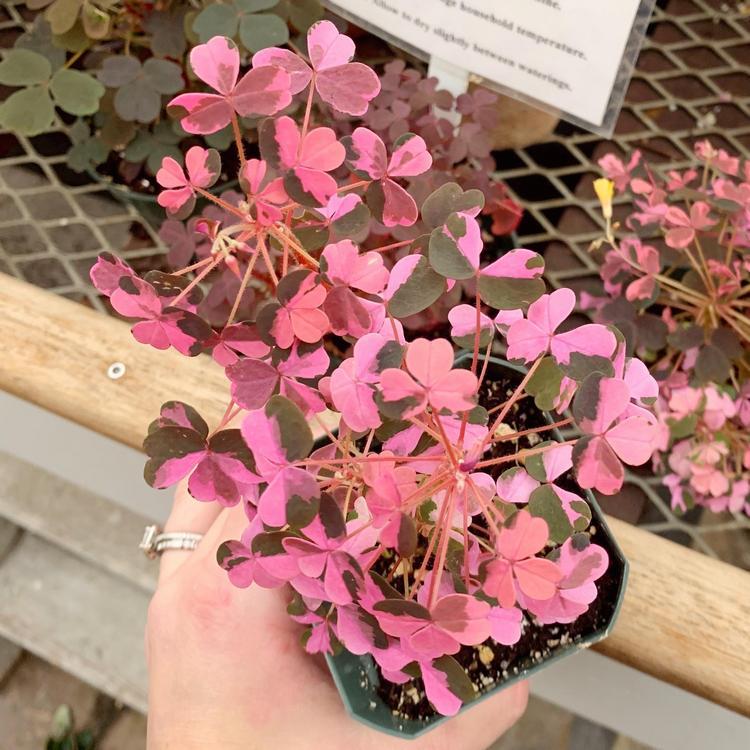 Oxalis 'Plum Crazy pink houseplant
