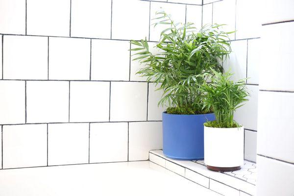 Parlor Palm bathroom plants