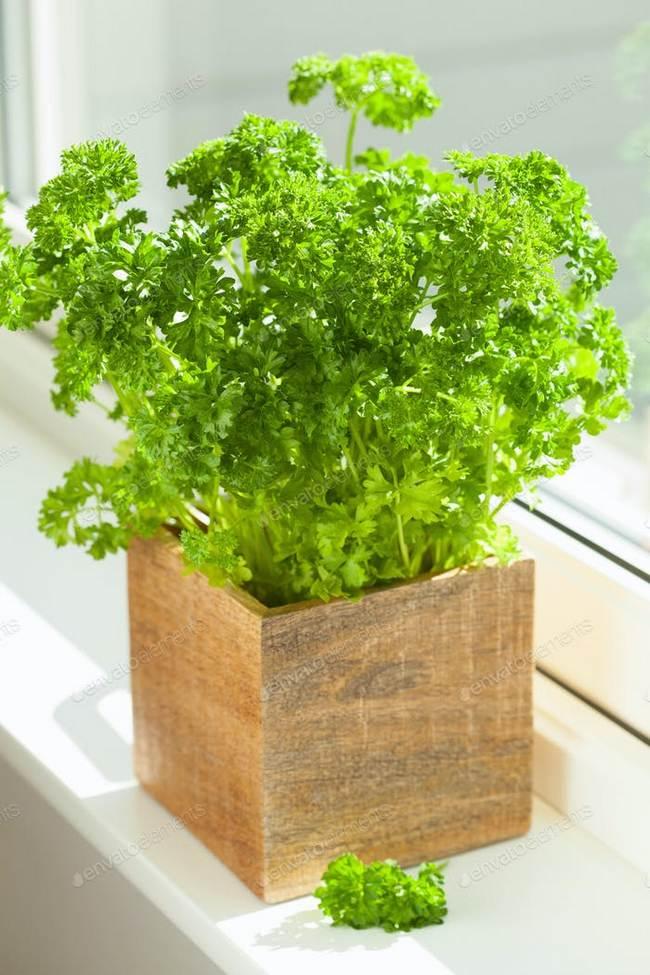 Parsley in pot indoor herbs