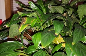 Peace Lilies Get Brown Leaves care problem