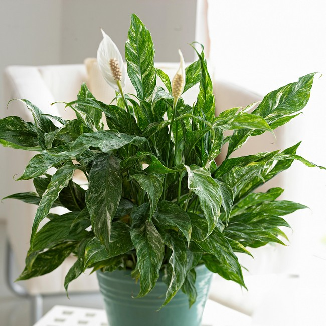 Peace Lily how to grow and care