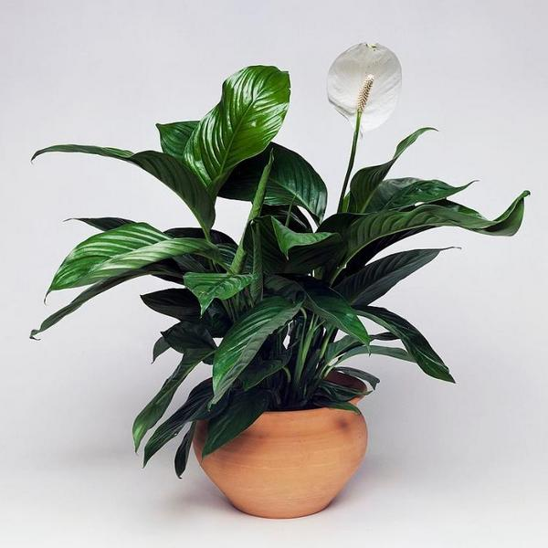 Peace Lily indoor houseplant survive hard in winter