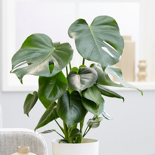 Philodendrons Monstera  Delicosa indoor houseplant survive hard in winter