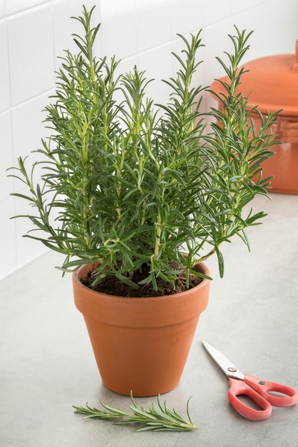 Rosemary indoor houseplant survive hard in winter
