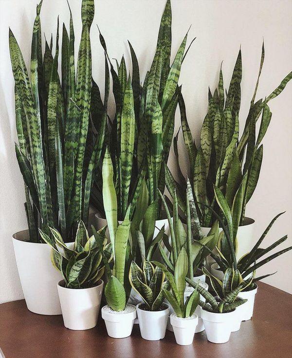 Snake Plant indoor houseplant survive hard in winter