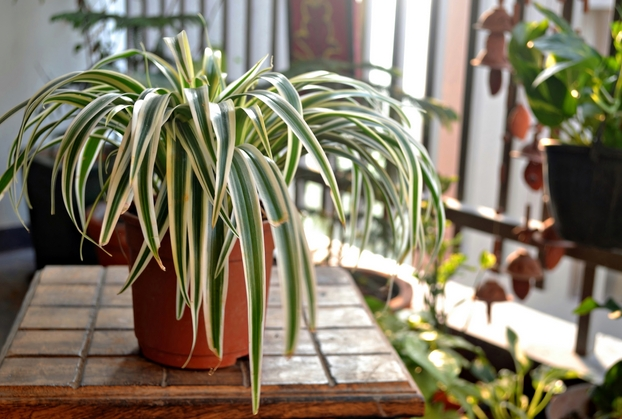 Spider Plant Problems care and guide light
