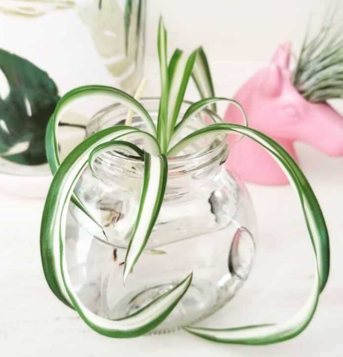 Spider Plant Propagation in water