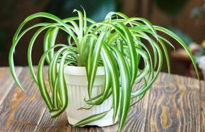 Spider Plant care and guide