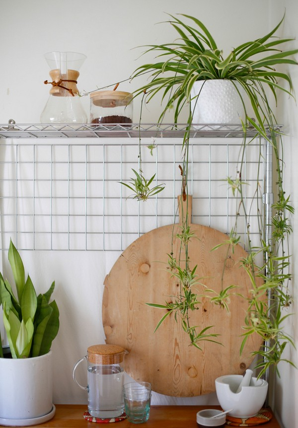 Spider Plant in kitchen